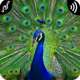 Peacock Sounds