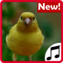 Image of Canary Sounds, Chants and tones free
