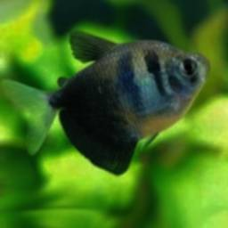 Cultivation of Fish Black Tetra