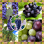 Best Grapes Photo Collage