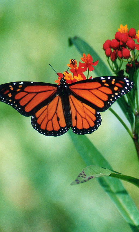 Download Butterfly Wallpapers Free For Your Android Phone
