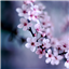 Image of Cherry Blossoms Live  Wallpaper