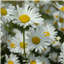 Daisies Live Wallpaper