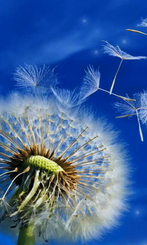 Dandelion Live Wallpaper Android Download