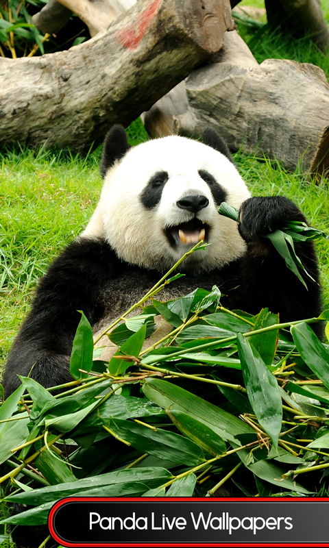free panda live wallpapers free app download android