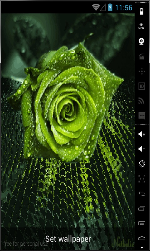 green rose black background - photo #24