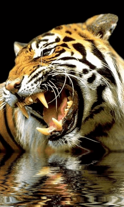 Group Of Tiger Wallpaper Android Phones