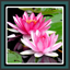 Download Live Wallpapers Lotus for Android phone