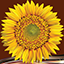 New Sunflower Photo Collage