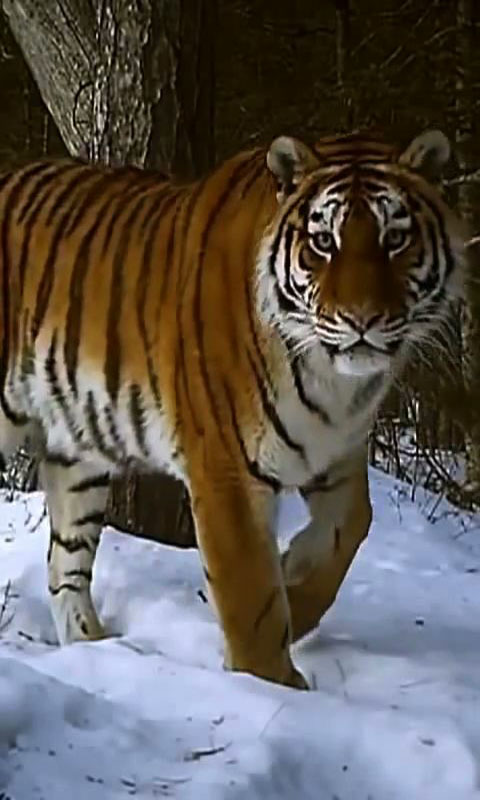 tiger live wallpaper free app download android freeware