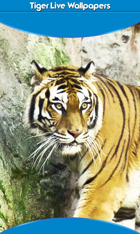 tiger live wallpapers new free apk android app android