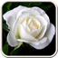 Download White Roses Live Wallpaper for Android Phone